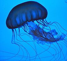 Single Floating Jelly Fish by photopen4