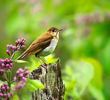 Wild Birds - Veery by Christina Rollo