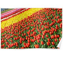 Colorful tulip farm Poster