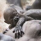 Gorilla Baby, Kassiu by Scott Engel