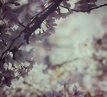 Delicate cherry blossoms by DerekEntwistle