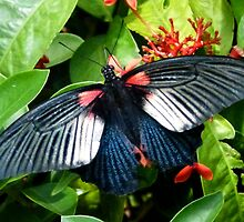 Great Mormon Butterfly by looneyatoms