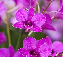 Orchids by JonathanNeed