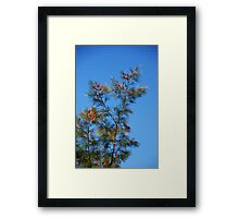 Wattle Tree against a Tropical Blue Sky - Northern Territory Australia Framed Print