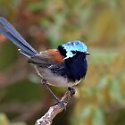 Male Red-winged Fairy-wren taken at D'Entrecaseaux NP in WA by Alwyn Simple