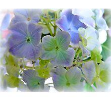 Sweet Hydrangea Photographic Print