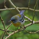 Northern Parula by SuddenJim