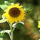 Sunflower  by Jessie Miller/Lehto