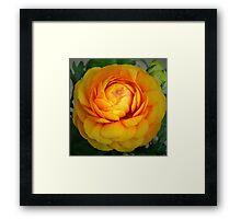 Golden Ranunculus. Framed Print