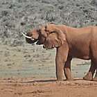 Loxodonta africana  Elephant by Warren. A. Williams