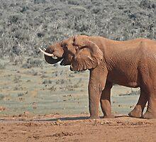 Loxodonta africana  Elephant by Warren. A. Williams