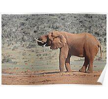 Loxodonta africana  Elephant Poster