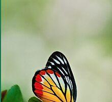 Madam butterfly on Phones:) by Kornrawiee