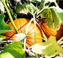 Pumpkins by Emily Rose
