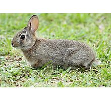 Peter Cotton Tail Photographic Print