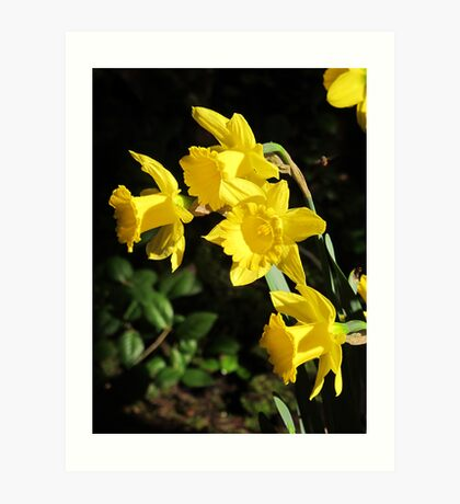Golden Daffodils Art Print