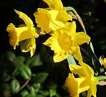 Golden Daffodils by Pat Yager