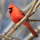 Male Cardinal in Spring by hummingbirds