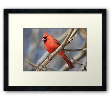 Male Cardinal in Spring Framed Print