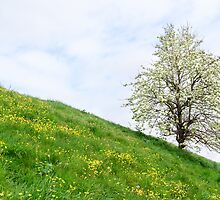 Sea dike in Zeeland with fruit tree and buttercups by 7horses