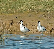 Pied Avocets by Sue Robinson