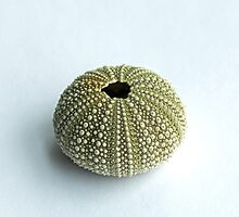Sea Urchin Shell by Sue Robinson