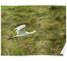 Spoonbill Flying Poster