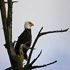 eagle striking a pose (square) by dedmanshootn
