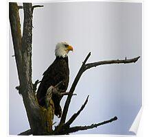 eagle striking a pose (square) Poster