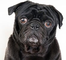 Black Pug by ilzesgimene