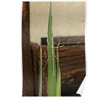 Stick Insect (Ctenomorpha Chronus) Poster