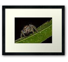 Jumping Spider 1 Framed Print