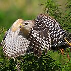 Red Shouldered Hawk in flight! by jozi1