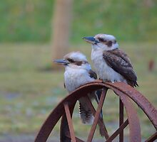 Kookaburra sits on the old rusty wheel by Andrew Bonnitcha
