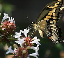 Tiger swallowtail on Abelia by BrewHound