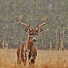 a cold buck by dc witmer