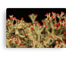 Cladonia Lichen Canvas Print