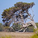 Windblown tree, Victoria, Australia by Margaret  Hyde