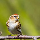 Redpoll (Carduelis flammea)  by chris2766