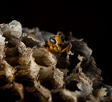 Paper Wasp by Natalie Ord