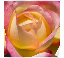 Variegated Yellow Rose  Poster