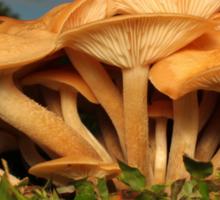 Fungal Beauty - Armillaria tabescens Sticker