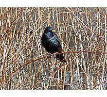 Starling on Dry Arrangement Photographic Print