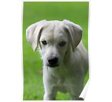 White Puppy in a Field Poster