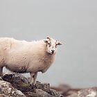Windswept Sheep by DerekMacKinnon