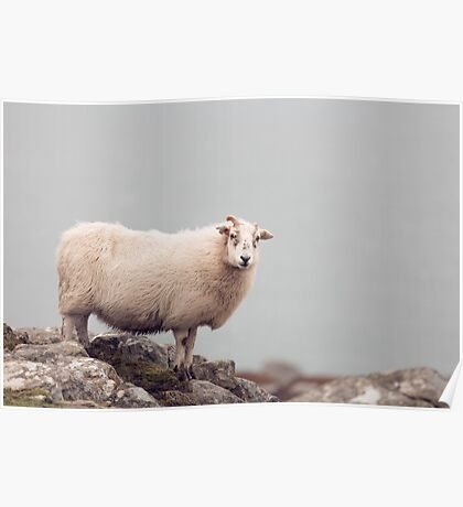 Windswept Sheep Poster