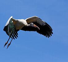 Wood Stork in Flight by Kenneth Keifer