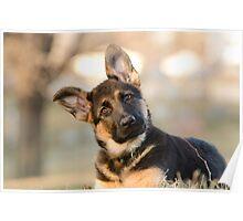Puppy German Shepherd Poster