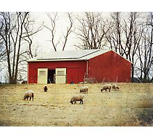 Sheep Farm Photographic Print