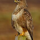 Buzzard by Gary Richardson